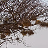 Weaver bird nests, Chobe