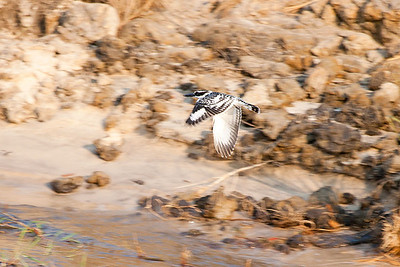 Pied Kingfisher, Chobe
