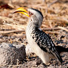 Yellow Billed Hornbill, Chobe