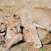 Lion Cubs, Rhino and Lion Park, Joburg