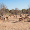 Herd of Impala, Chobe