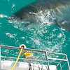 Great White Shark during shark diving, Gansbaai