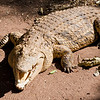Crocodile at a farm in Livingstone, Zimbabwe