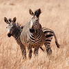 Zebras, Rhino and Lion Park, Joburg<br /> Which way is the zebra crossing?