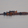 2 hippos in the water, Chobe