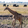Giraffe and an elephant family, Chobe