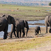 Elephant family, Chobe