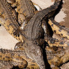 Crocodiles at a farm in Livingstone, Zimbabwe