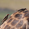 Giraffe with red billed obpeckers, Chobe