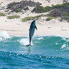 Dolphin 'launch', Plettenberg Bay