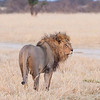 Lion - gave us a wake-up call near tent, Kutse