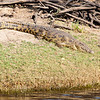 Crocodile, Chobe