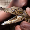 Young crocodile at a farm in Livingstone, Zimbabwe