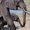 Elephant and calf, Chobe