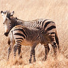 Zebra and Young, Rhino and Lion Park, Joburg