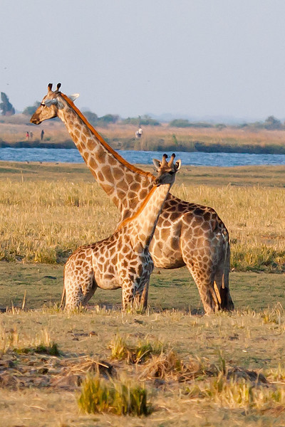Giraffe and Calf, Chobe