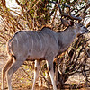 Adult Male Kudu, Chobe...check out the horns