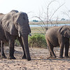 Elephants, Chobe