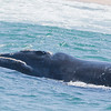 Southerm Right Whale, Plettenberg Bay