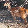 Female Nyala, Chobe