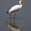A yellow billed stork