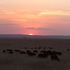 Cape buffalo grazing into the sunset