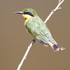 A little bee eater or pygmy bee eater