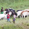 Masai kids with cattle - view from the room
