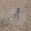 A cheetah looking out for trouble
