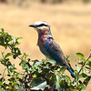 A lilac breasted roller...