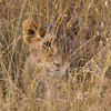 A lion cub hiding in the grass