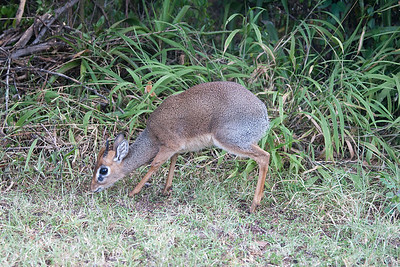 A dikdik - quiet a few of them in the resort