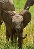 Elephant calf, Tarangire National Park. Tanzania 2013