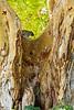 Southern Tree Hyrax, Tarangire National Park, Tanzania.  February 2013