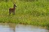 Reedbuck, Tarangire National Park, Tanzania.  February 2013