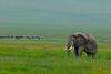 Elephant, Ngorongoro Crater, Tanzania, Africa.  February 2016