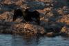 Cormorant,  Orange River, Upington, South Africa.  August 2017