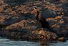 African Darter, Orange River, Upington, South Africa.  August 2017