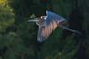 Goliath Heron, Orange River, Upington, South Africa.  August 2017