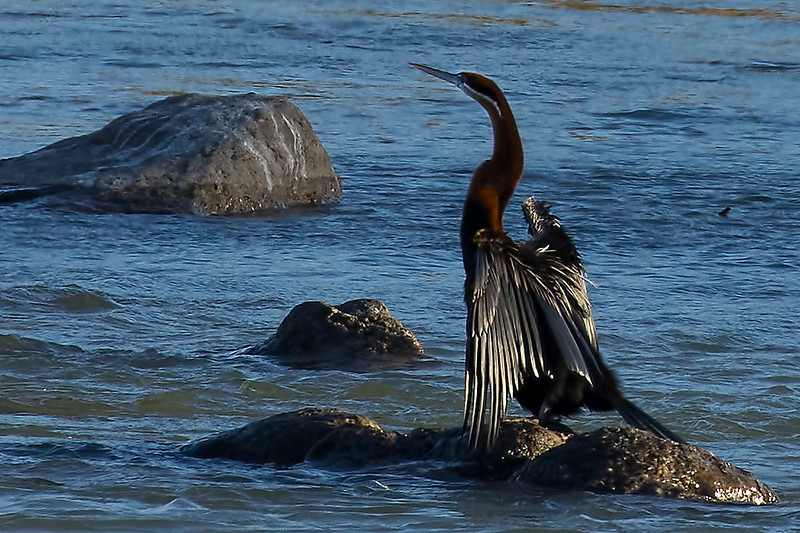 African Darter, Orange River, Upington, South Africa.  August 2017