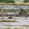 Cheetahs at Water Hole