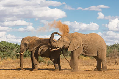 Elephant Dust Bath 1
