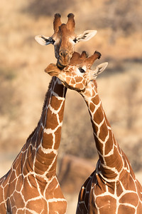 Male reticulated  giraffes practicing the art of necking -a male dominance behavior.