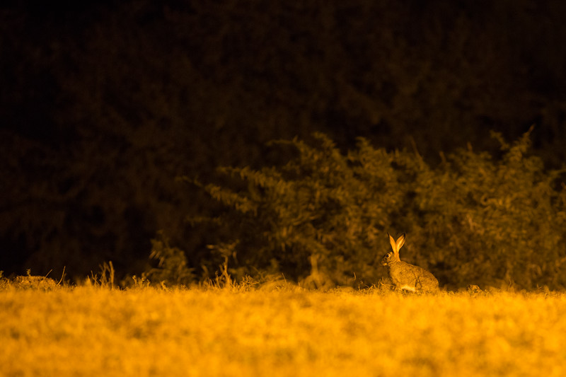 Hunting Hare