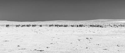 The mega herd