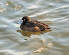 Tufted Duck<br /> (Aythya fuligula)<br /> female
