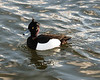 Tufted Duck<br /> (Aythya fuligula)<br /> male