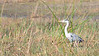 The Grey Heron (Ardea cinerea), is a wading bird of the heron family Ardeidae, native throughout temperate Europe and Asia and also parts of Africa.