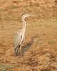 The Grey Heron (Ardea cinerea), is a wading bird of the heron family Ardeidae