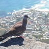 Speckled Pigeon with a view